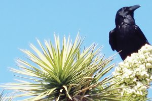 Ravens – Doom for desert tortoises