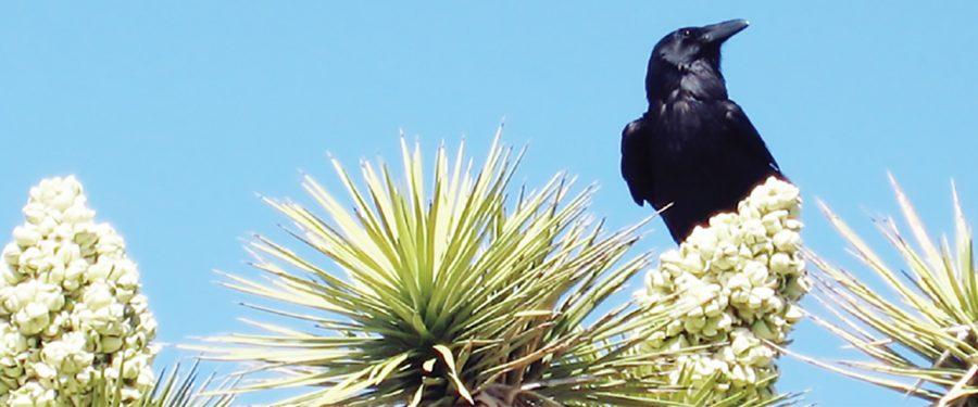 Ravens – Doom for desert tortoises